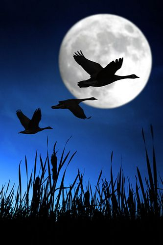 Geese With Full Moon Pintura De Lua Pinturas Paisagens Boa