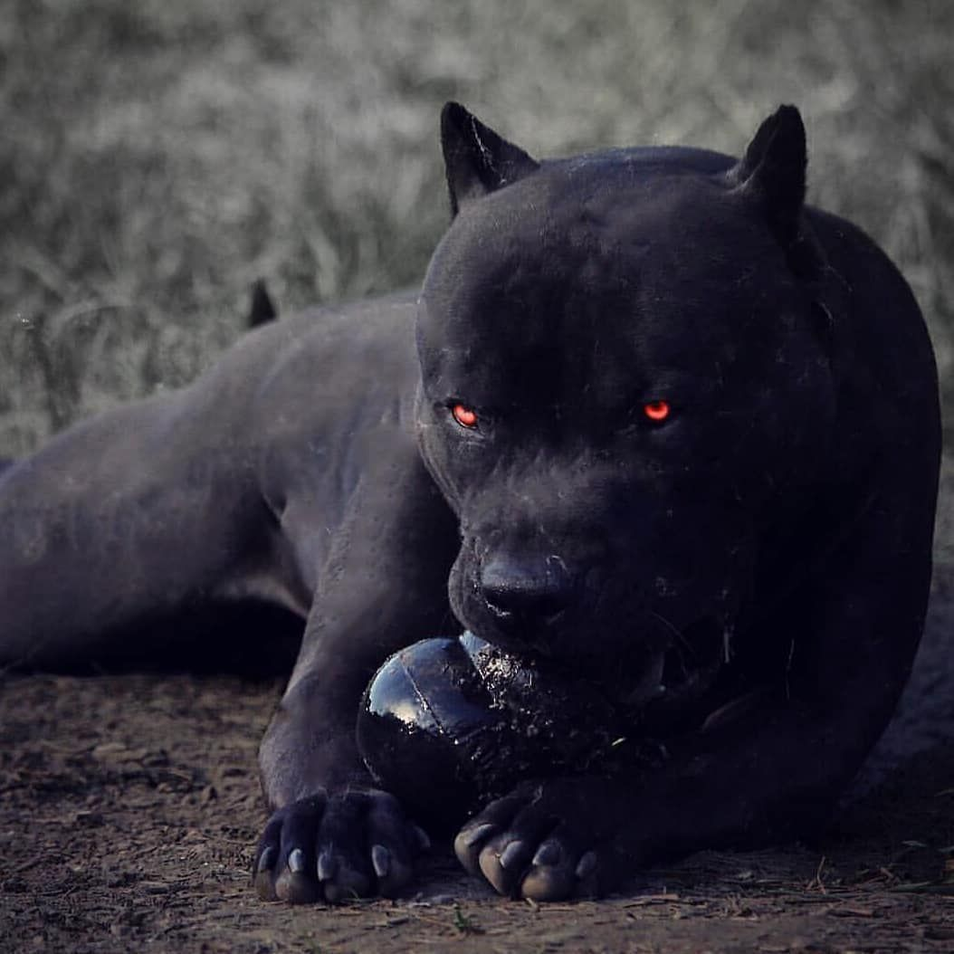 Black Pitbull Black Pitbull Black Pitbull Puppies Pitbull Terrier