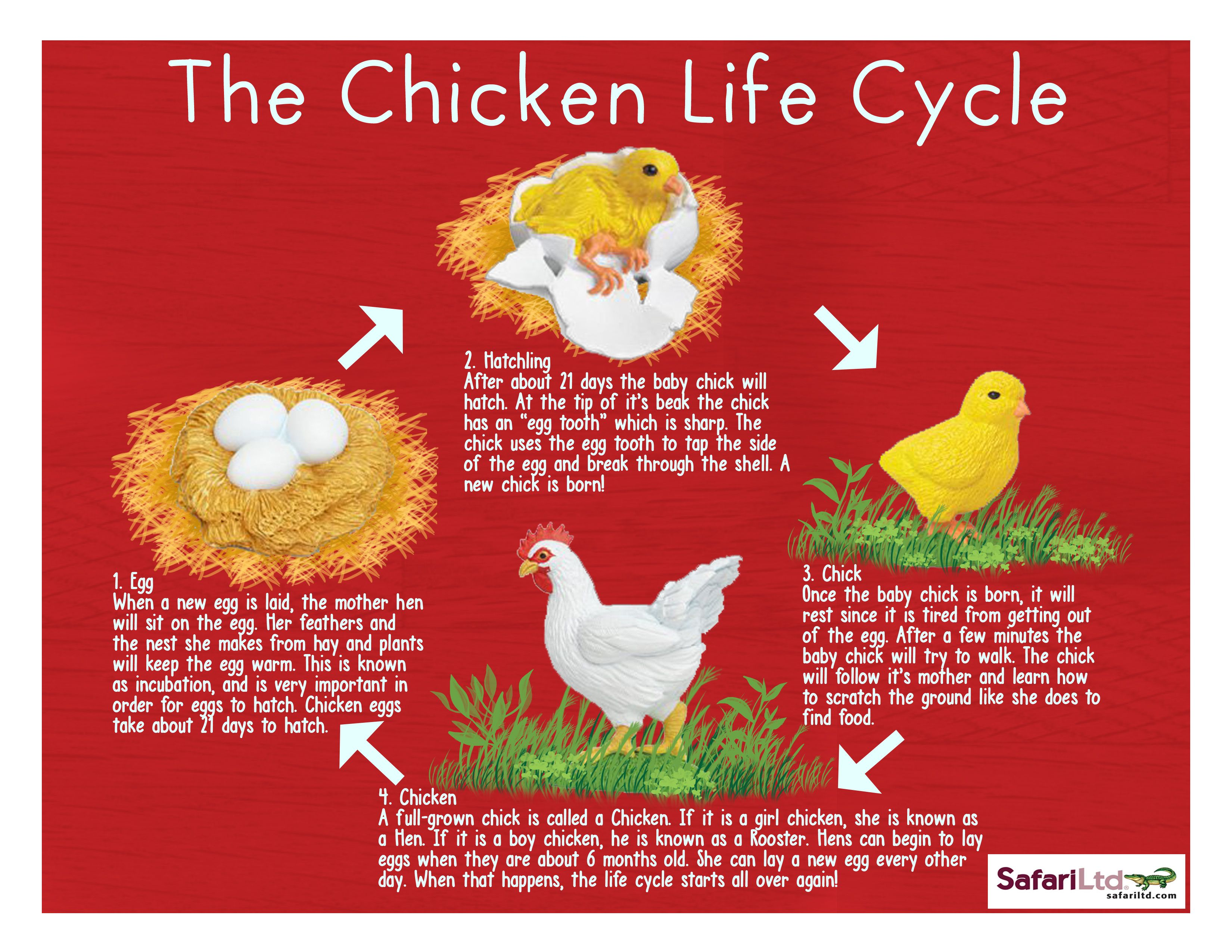 The Chicken Life Cycle