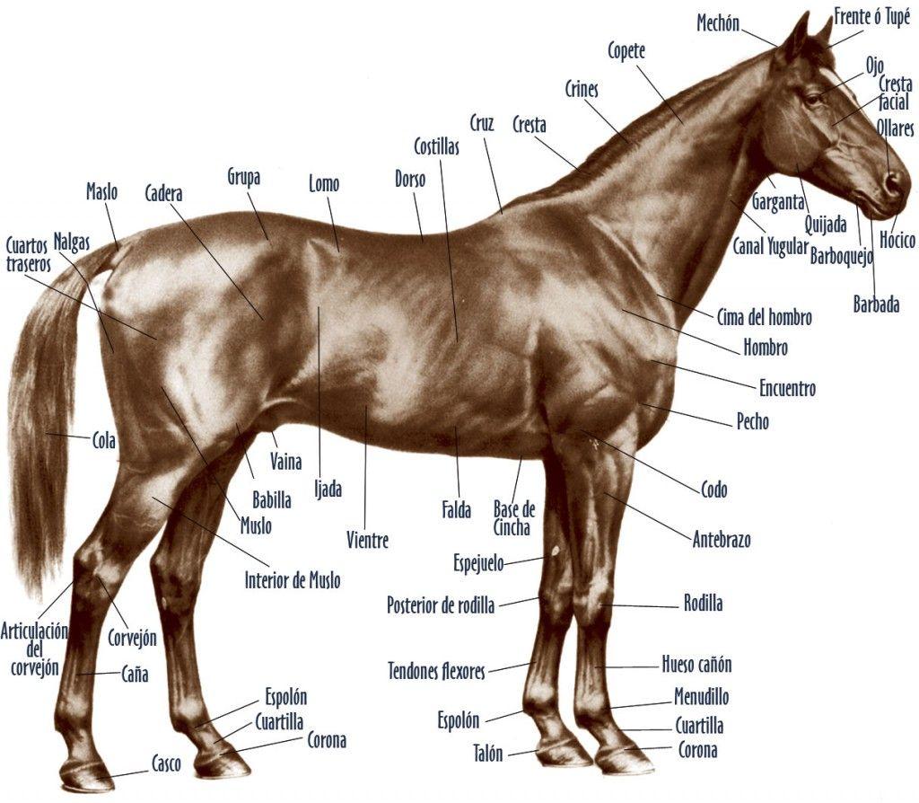 Morfología del caballo | Corcel | Pinterest | Horse