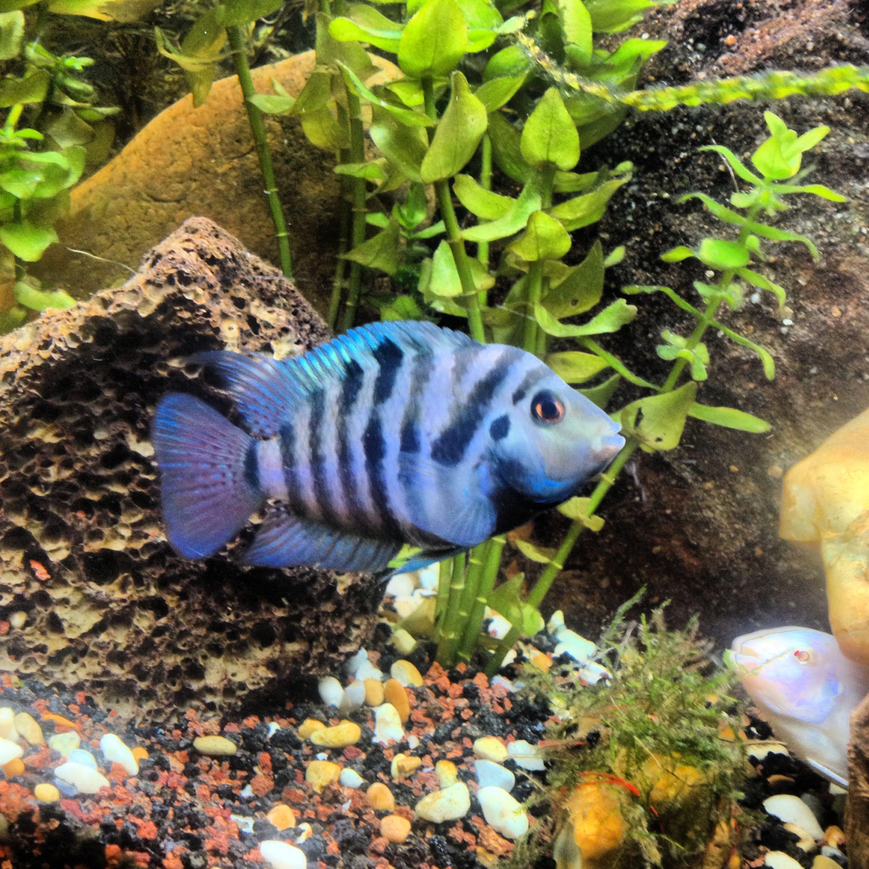 Convict cichlid fish tank cichlids Pinterest