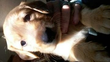 Litter Of 9 Golden Retriever Puppies For Sale In Dandridge Tn