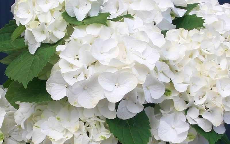 White Out Forever And Ever Hydrangea Picture Gardenality Hydrangea Not Blooming Hydrangea Picture Hydrangea