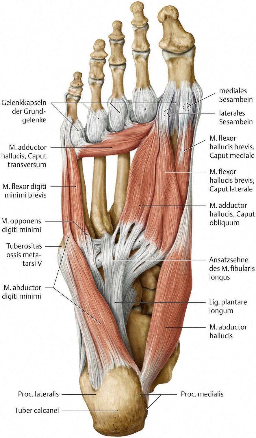 Resultado de imagen de anatomie des unterleib | Anatomía | Pinterest ...