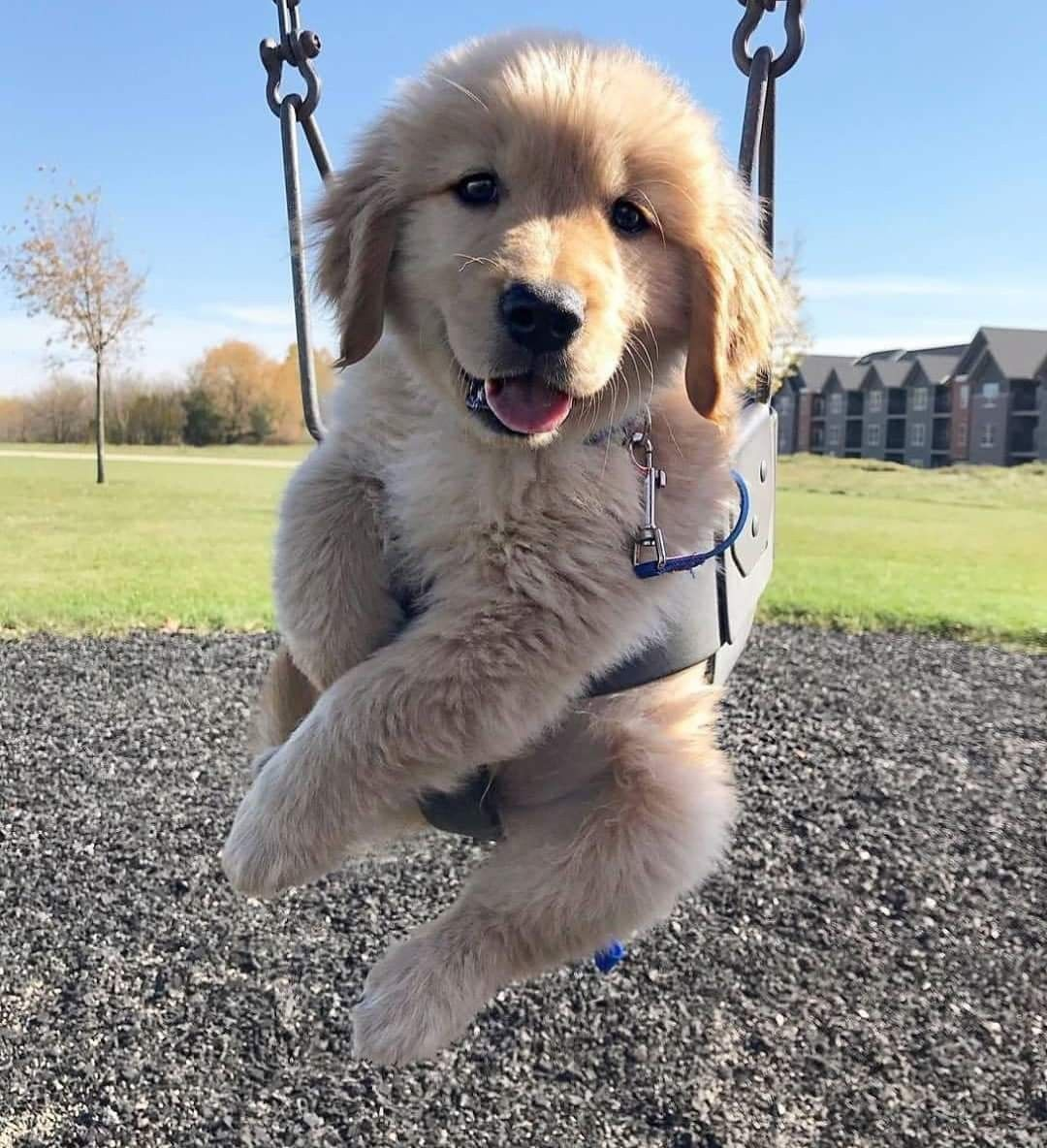 10 Astonishing Versatile Golden Retriever Ideas Puppies Cute