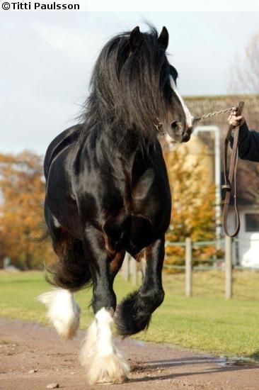 Shire stallion Acle Magnum | Misc/with many horses ...