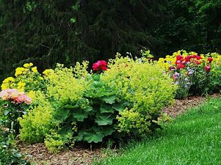 the musings of the cottage gardener: lady's mantle