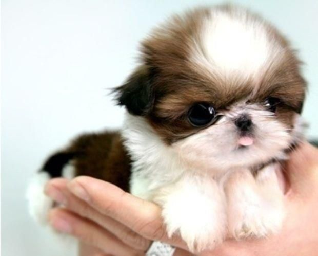 Cute little baby shih tzu puppy in hand