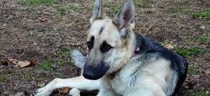 Sadie is an adoptable German Shepherd Dog Dog in Madison, WI. Our adoption process begins with an application. Please read about our adoption process and fees on our website on our adoption applicatio...