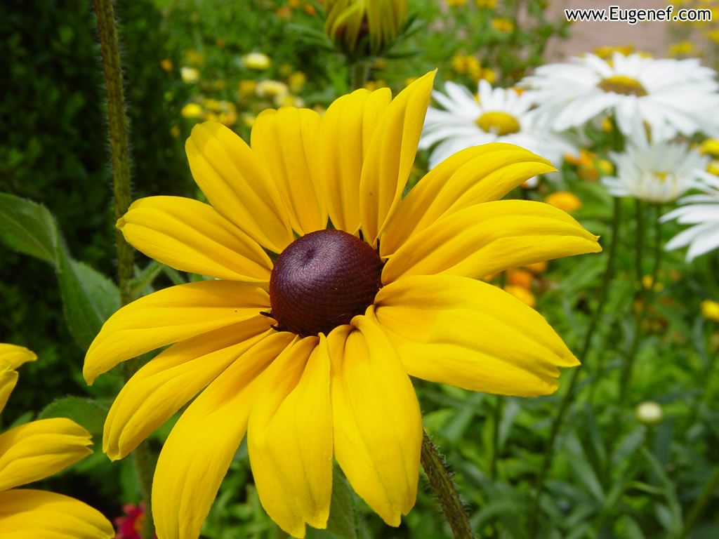 Flower Wallpaper Flower Wallpapers Images And Nature Wallpaper Flower Pictures Yellow Flower Wallpaper Beautiful Flowers Wallpapers Black Eyed Susan Flower