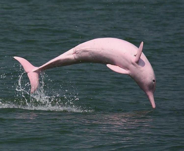 The Pink Amazon River Dolphin Pink Amazon River Dolphin River