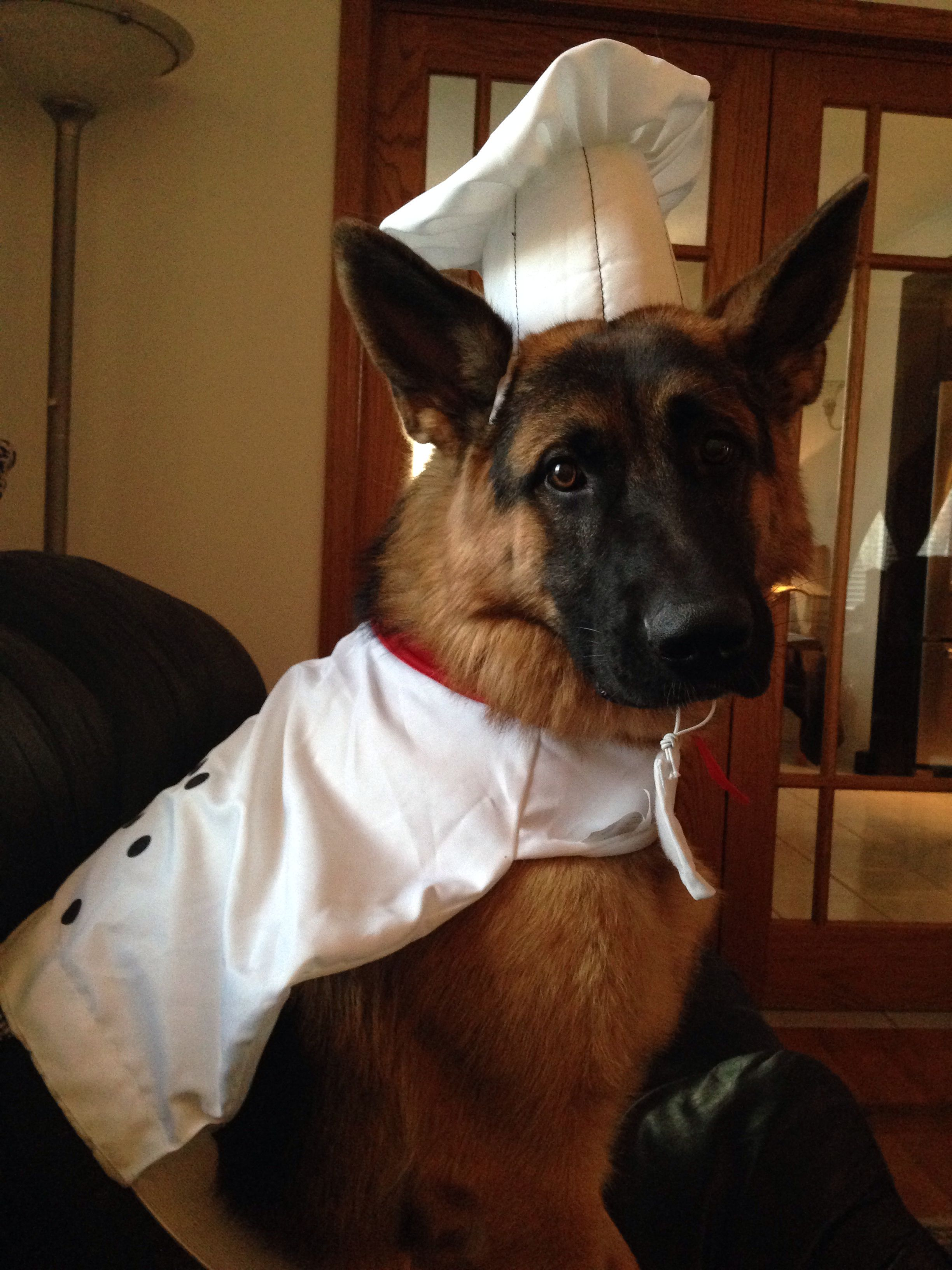 German Shepherd Chef Winston German Shepherd Costume German