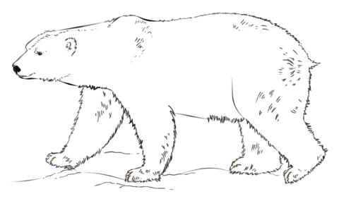 Polar Bear Walking Coloring Page Polar Bear Coloring Page Bear Coloring Pages Polar Bear Color