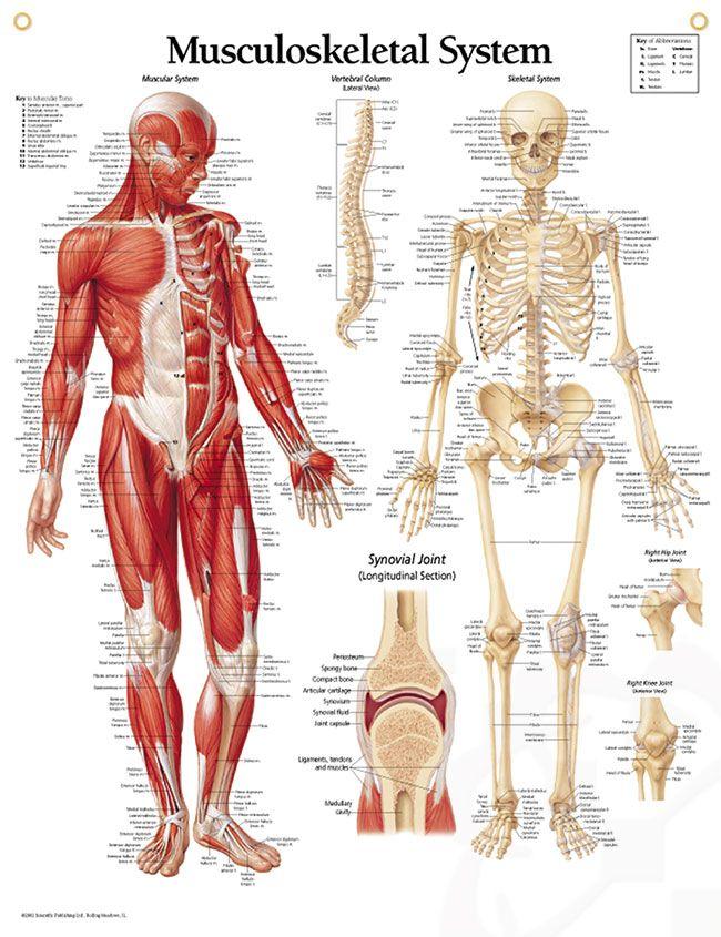Musculoskeletal System Chart 22x28 | Pinterest | Anatomy