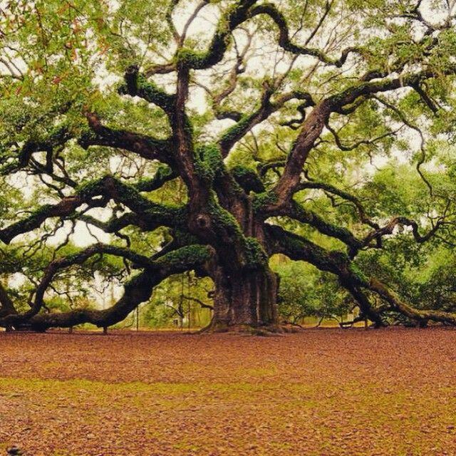 Modern dance tree. Angel oak trees, Live oak trees