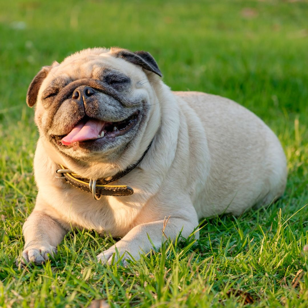 Pug Dog Smiling And Lying On Green Grass Smiling Dogs Pug Puppies Smile Pictures