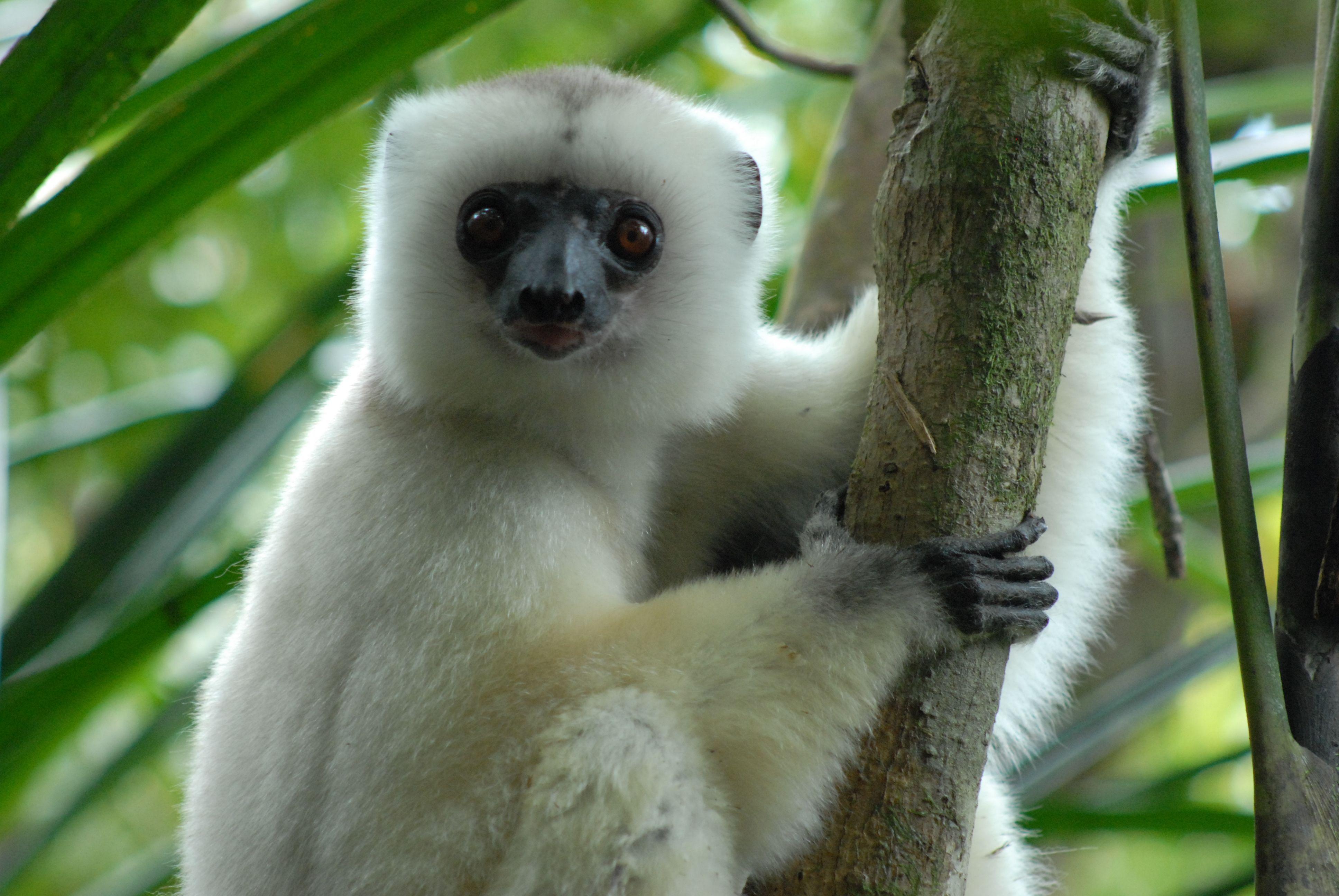 Silky Sifaka Lemur | Small Obsessions | Pinterest | Monkey ... - photo#36