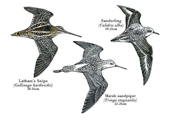 Bird illustration  Waders  bird art print of by RobManciniImages, $25.00