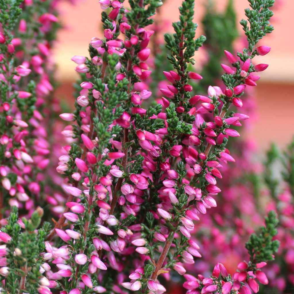 Happy Heather Heather Flower Heather Plant Planting Flowers