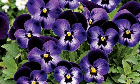 Plant of the week: Viola 'Denim' – its flowers are edible. Representation (dad)