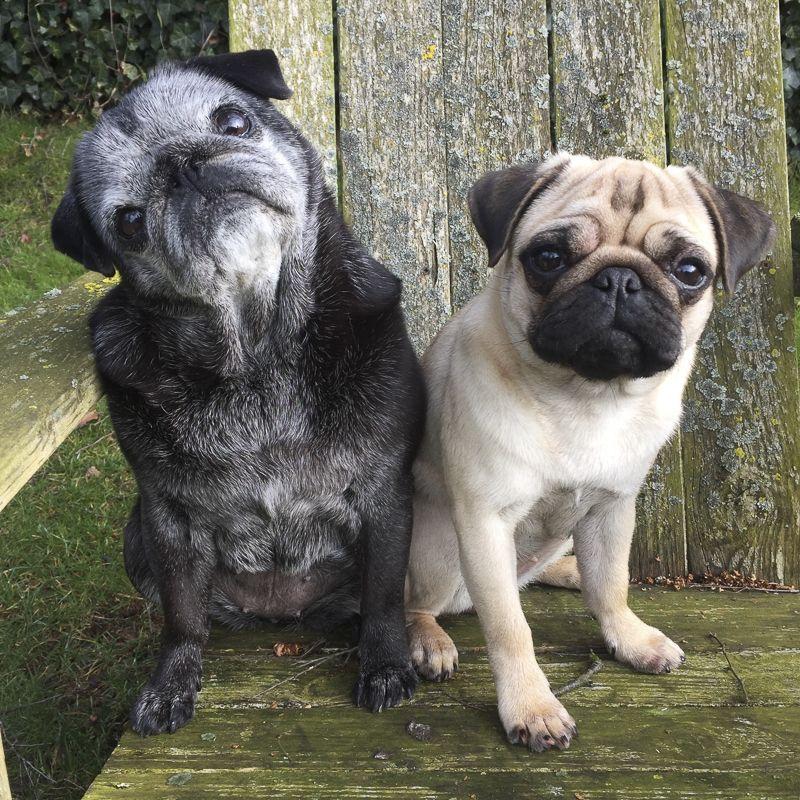 Social Pug Profile Socializing Dogs Pugs Dogs