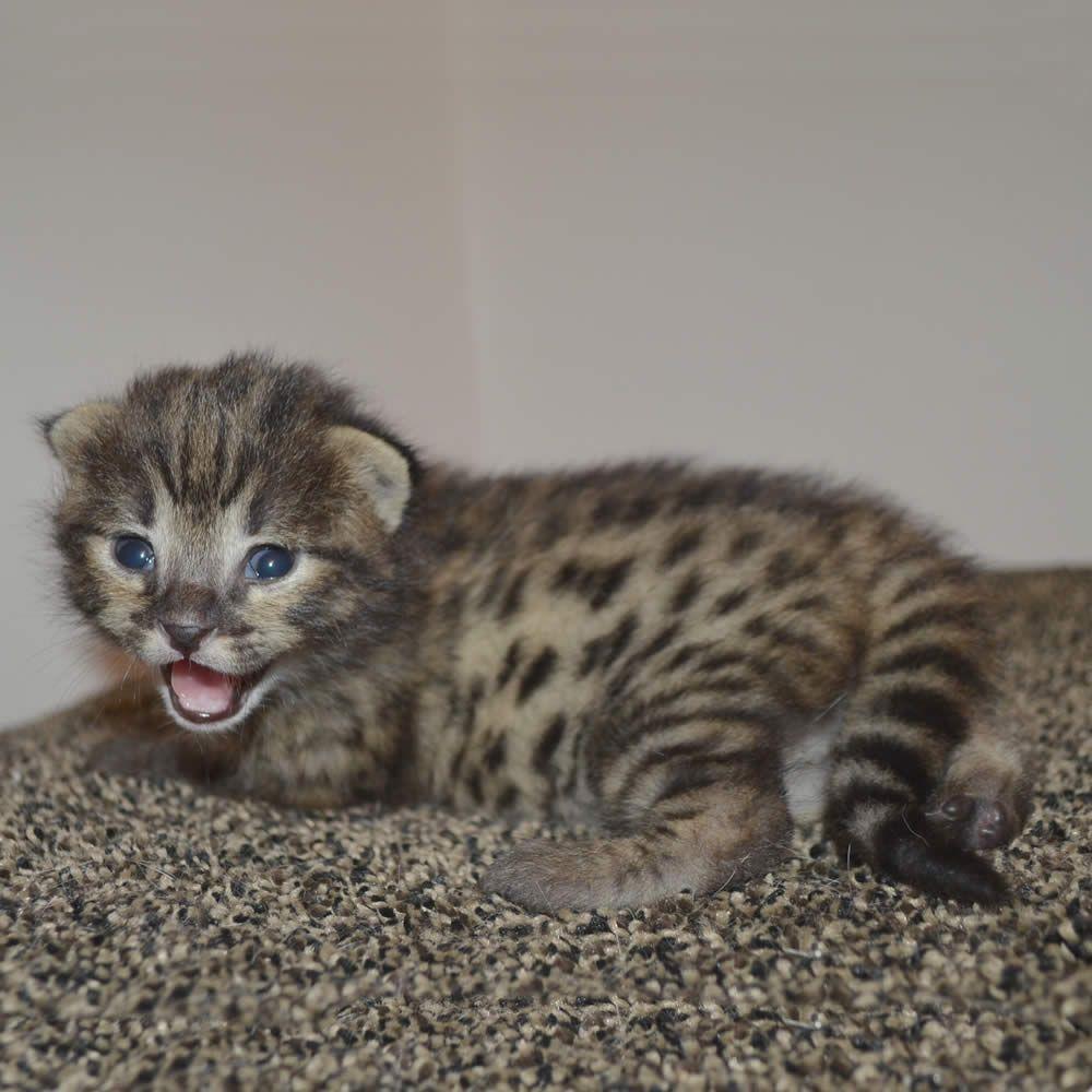 Cute Little F2 Savannah Kitten By Amanukatz Savannah Kitten Savannah Kittens For Sale Savannah Cat