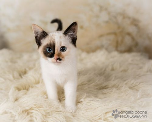 Adopt Opal On Petfinder Pretty Cats Crazy Cats Cute Cats