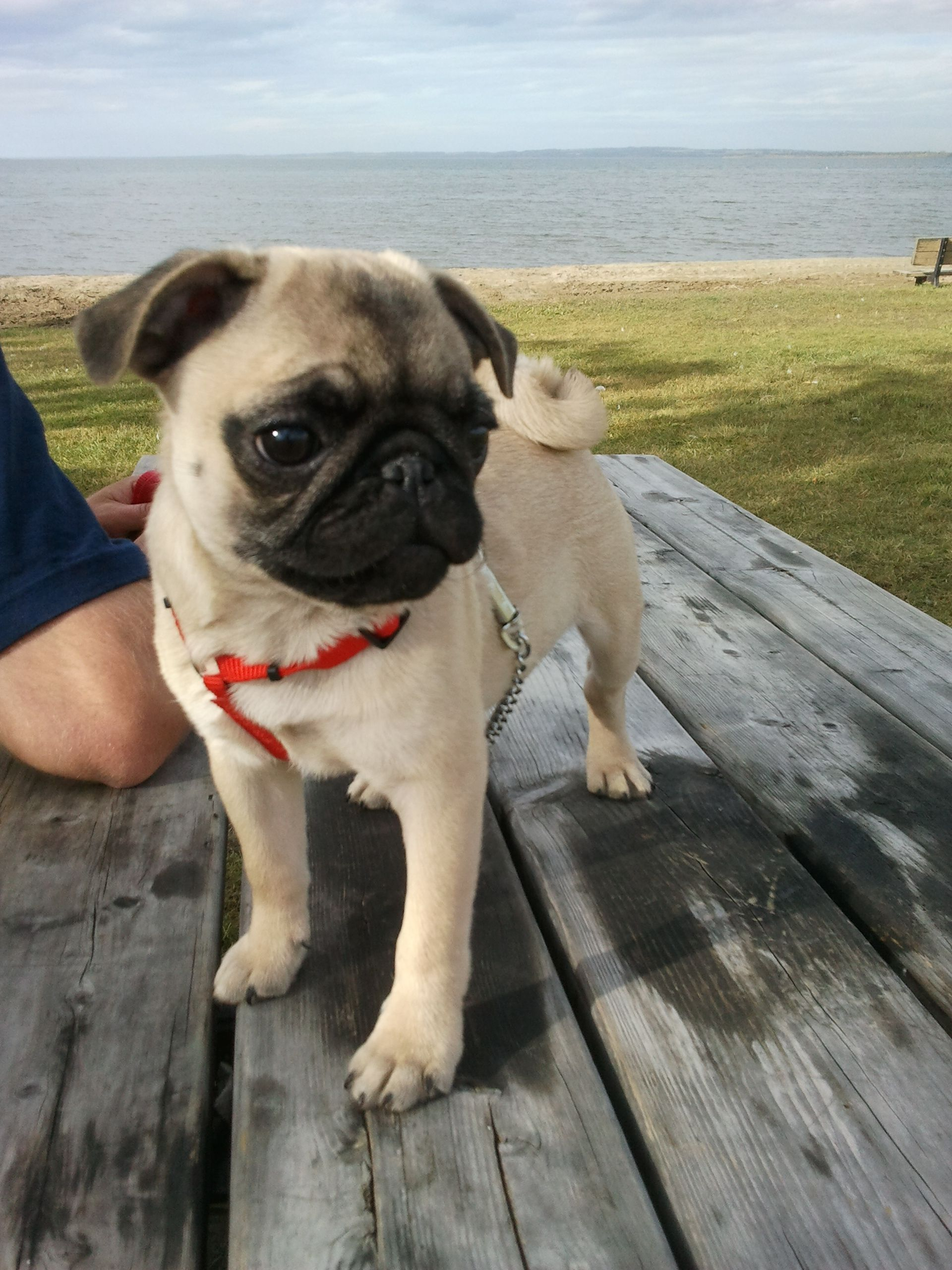 Bugsy Malone My Pug Puppy At The Beach Pugs Cute Pugs Pugs And