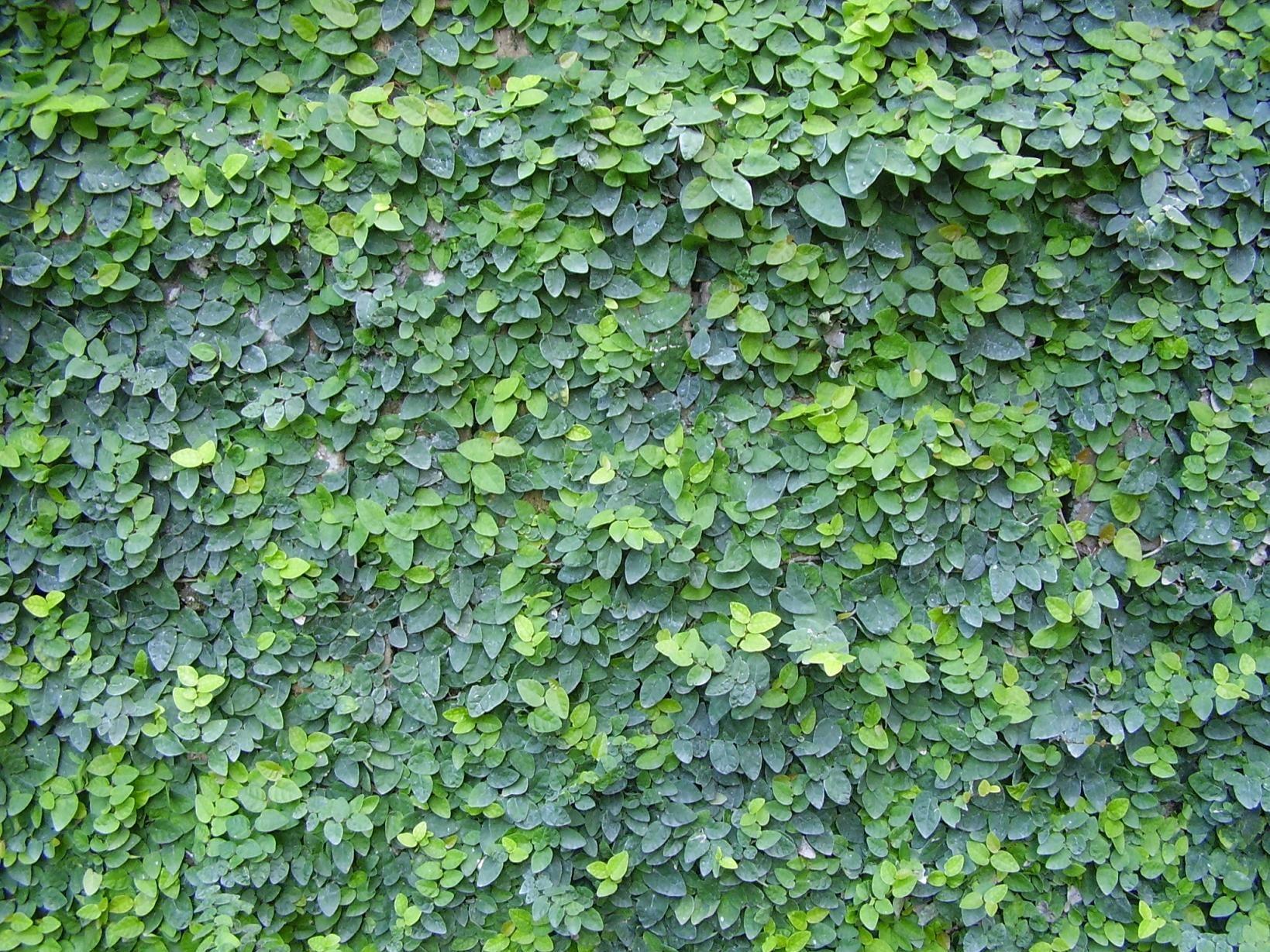 Ficus Pumila Creeping Fig Ficus Pumila Ficus