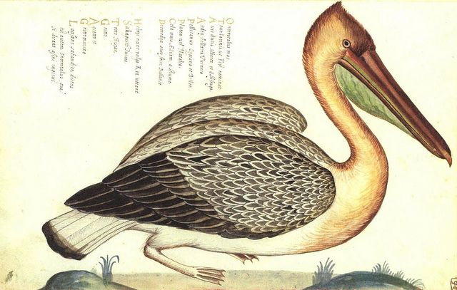 PELLICANO - Da 'Natura Picta' di Ulisse Aldrovandi (1522-1605)