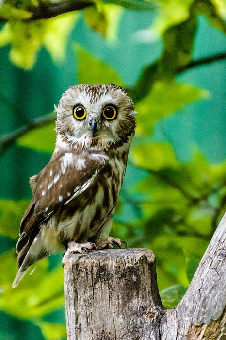 Northern Saw-Whet Owl at the Schlitz Audubon Nature Center.