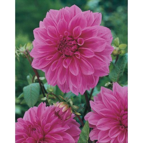 Lowes 3 Pack Lilac Time Decorative Dahlia Lb21753 Beautiful Flowers Flowers Dahlia