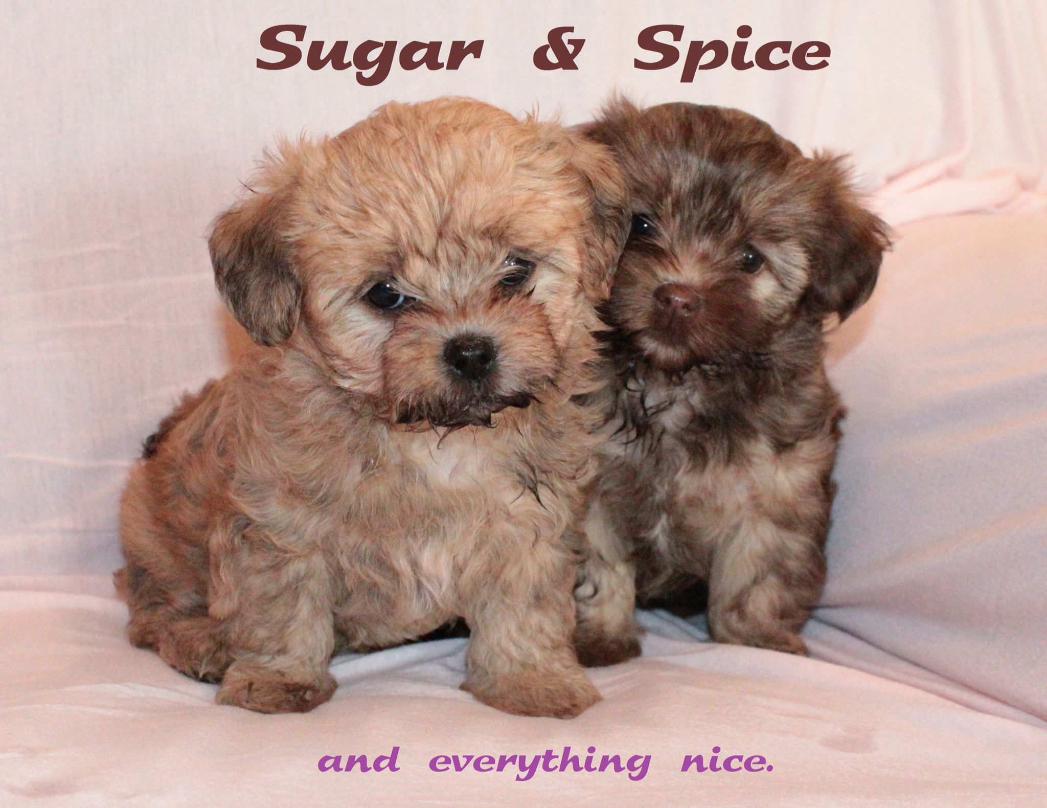 Sugar And Spice 5 Week Old Shorkie Poo Puppies Puppies