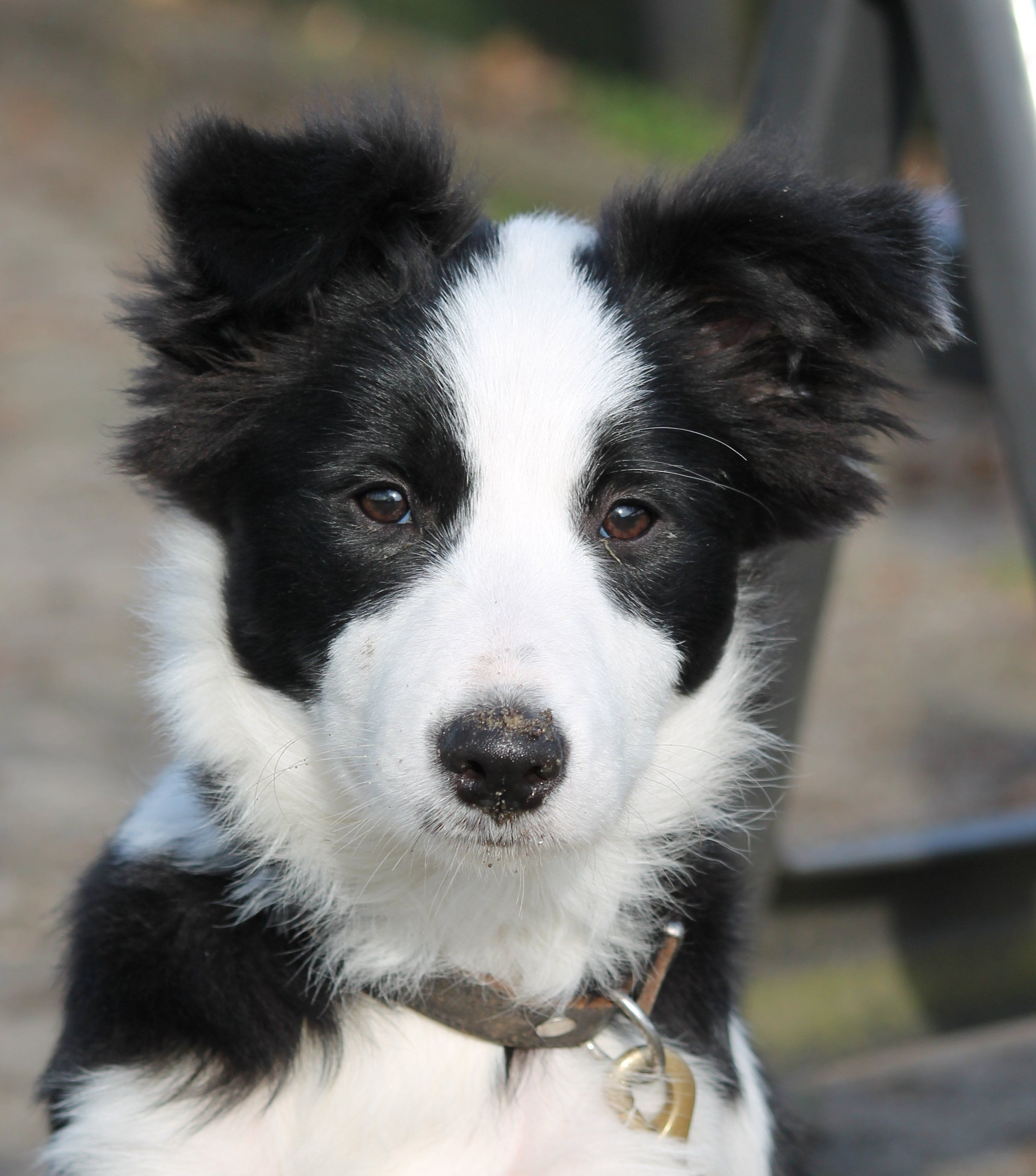 Pin By Sharna Tippett On Border Collies Collie Collie Puppies Cute Dogs