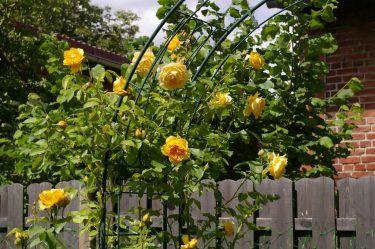 Как вырастить розы в своем саду: посадка и уход — краткая ...