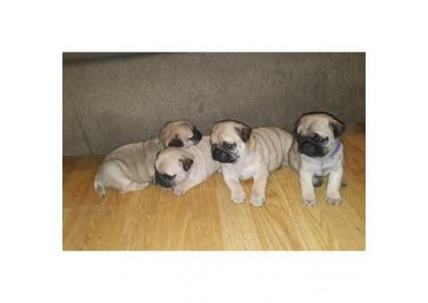 12 week old Male Pug Puppy available in Houston , Texas