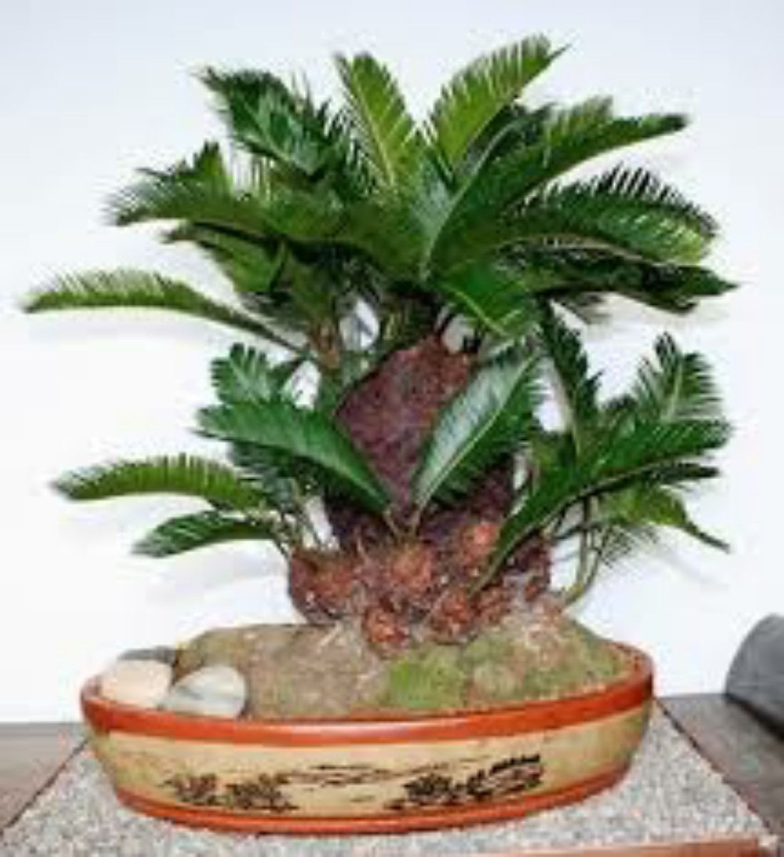 how to make a sago palm bonsai