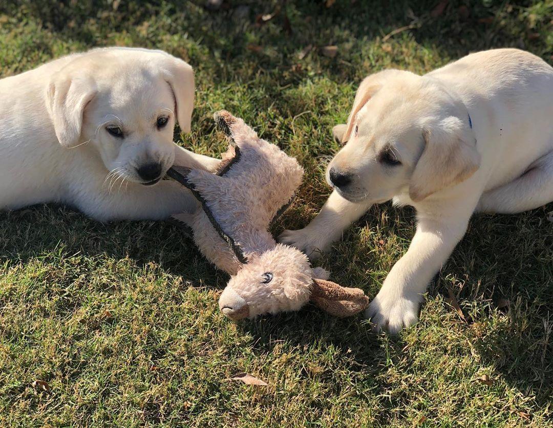 103 次赞 2 条评论 Poppy Oliver White Labs Poppy Ollie Whitelabs 在 Instagram 发布 Help Wanted Sis Keeps Stealing My Toys In 2020 Lab Puppies Labrador Puppy Puppies