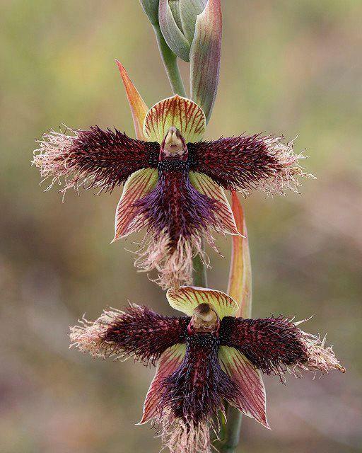 Grappige orchidee. Het lijkt wel een vogelverschrikker!