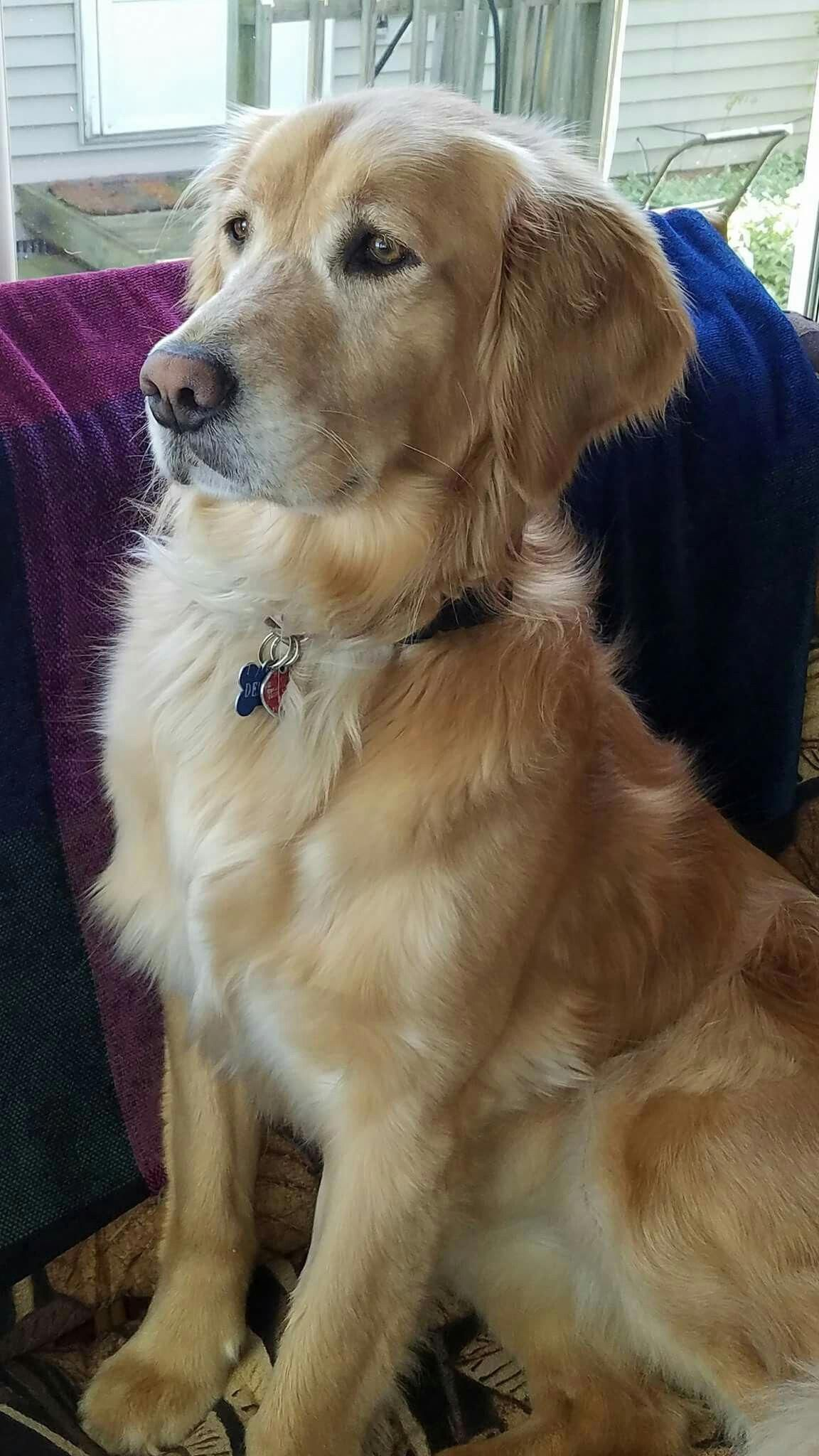 The Most Beautiful And The Best Dog In The World Is A Golden