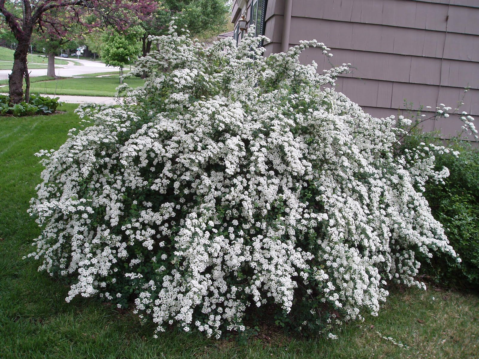 Plant A Row Of White Spirea Along Entrance To Cabin Plants