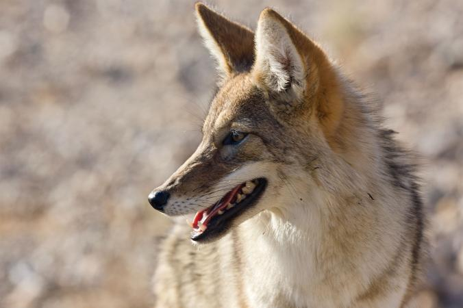 No, Coyotes Don't Get High—But These Animals Do Animals