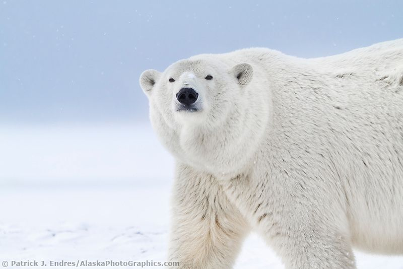 Portrait of an adult female polar bear  in the snow on an island in the Beaufort Sea on Alaskas arctic coast.
