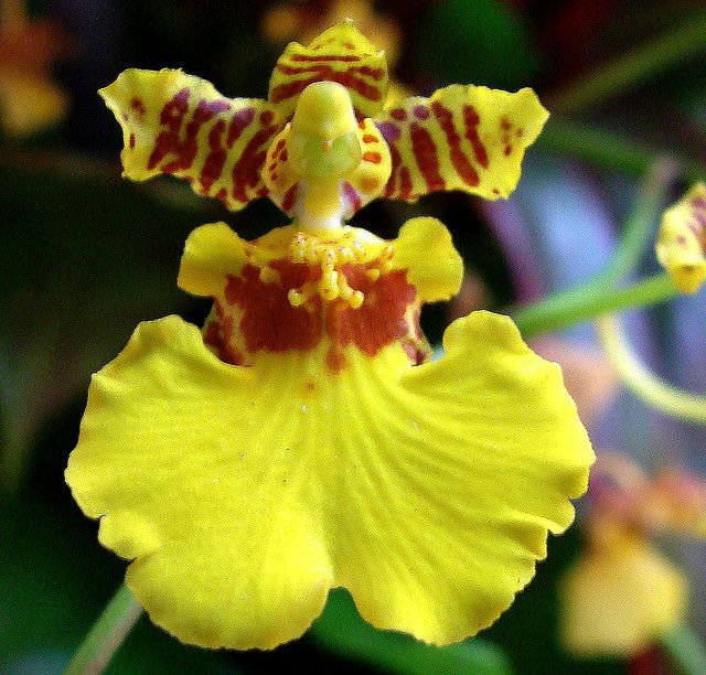 Maui - Yellow Orchid by Donnali, via Flickr