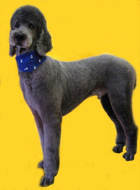 Breed Standard Poodle Gender Male Registry Akc Personality