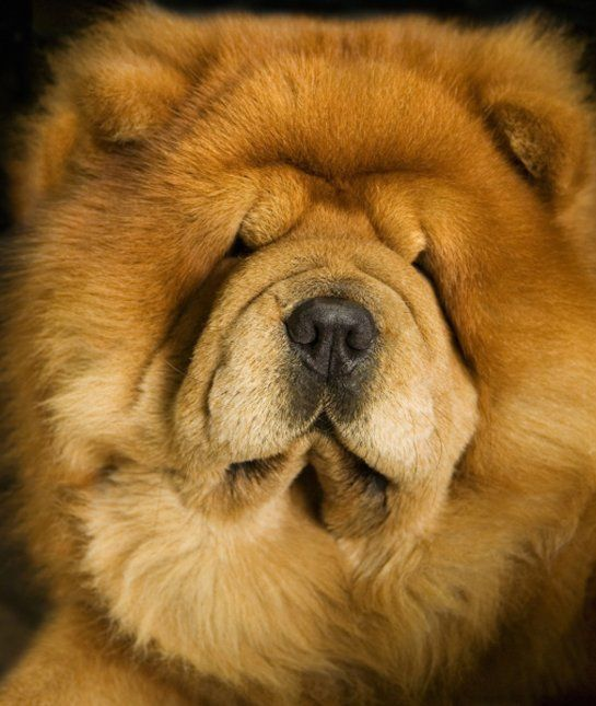 10 Cool Facts About Chow Chows Chow Chow Dogs Dog Pictures