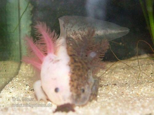 Chimera Axlotl Amphibian They Have Ones In The Pet Store In Merritt For 80 So Cool Animals Axolotl Cute Axolotl Tank