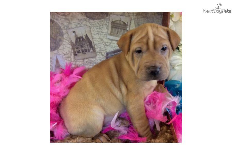 Sasha Mixed Other Puppy For Sale Near Jacksonville Florida