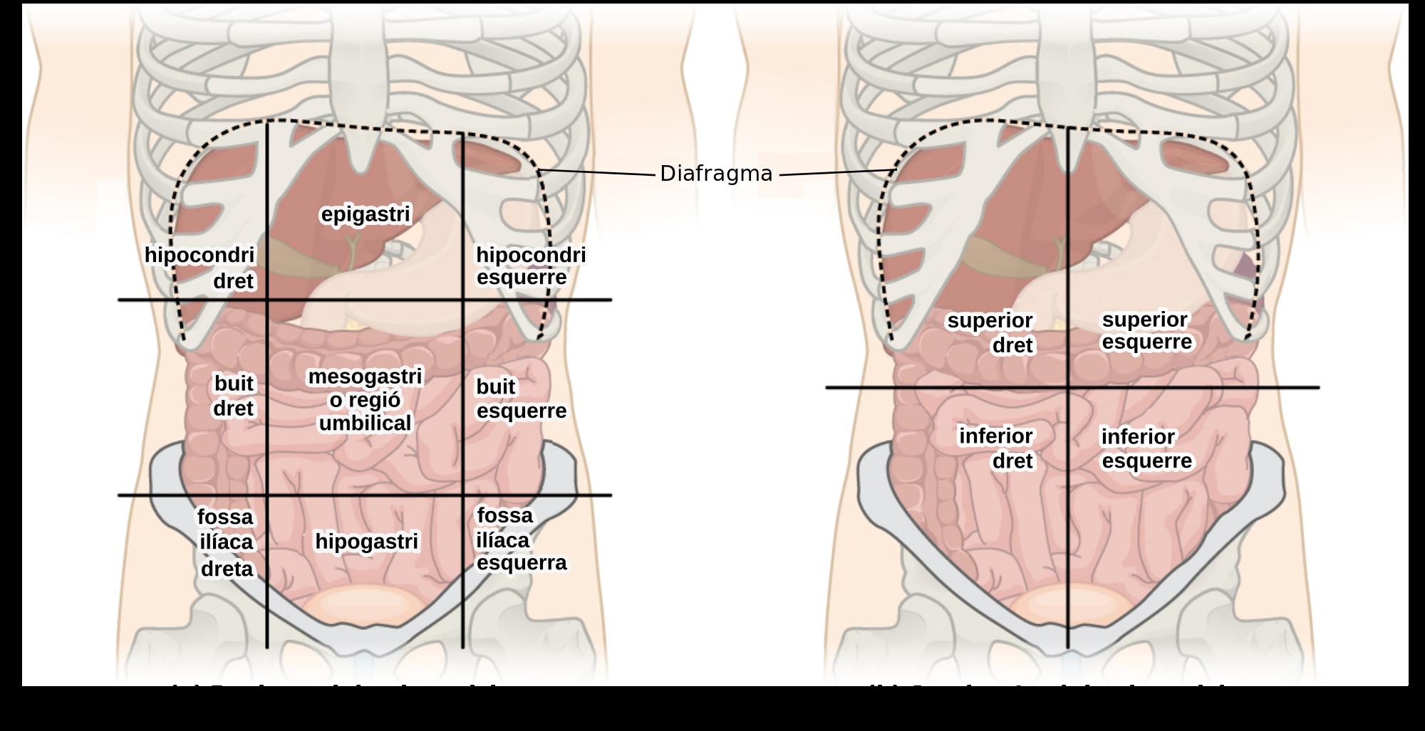 Abdominal Quadrants And Regions Fileabdominal Quadrant