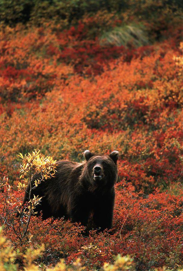Kodiac Bears Map Usa on